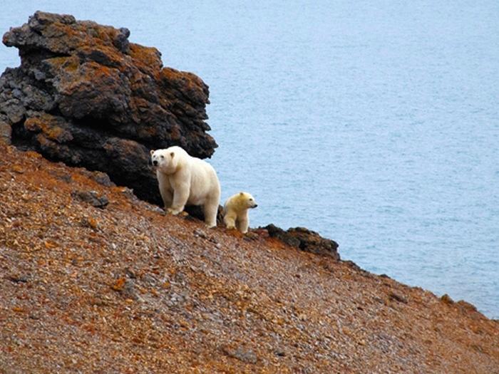 Жизнь белых медведей на острове Врангеля