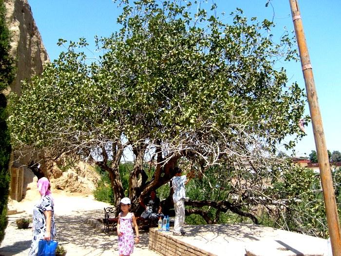 Возрожденное фисташковое дерево
