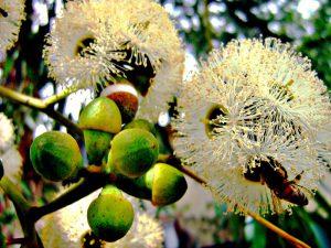 Цветущий эвкалипт