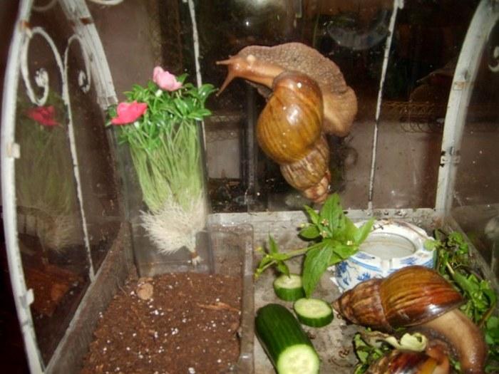 Гигантские улитки в аквариуме