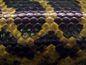 Чешуя парагвайской анаконды