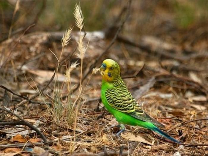 Основная пища волнистых попугайчиков