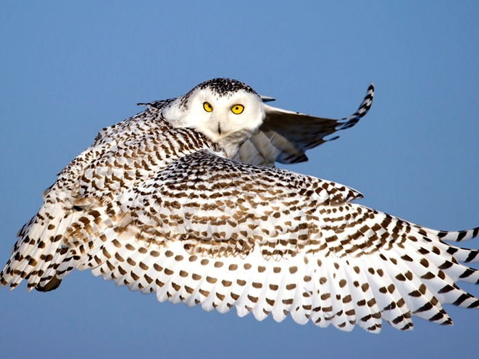 Полет белой совы