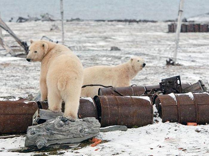 Медведи - хозяева острова Врангеля