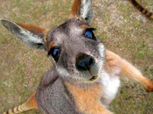 Любопытный кенгуренок