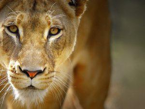 Африканский лев фото