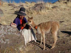 Маленькая викунья в Перу