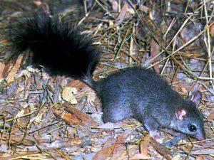 Сумчатая кистехвостая крыса Австралии