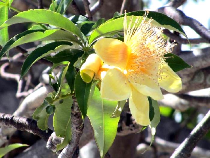 Цветок бутылочного дерева