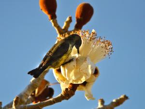 Grandidieri в цвету