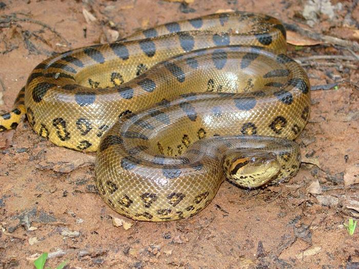 Самая тяжелая змея в мире