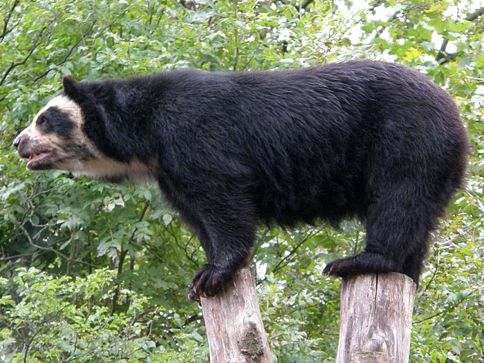 Медведь акробат