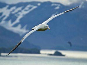 Бреющий полет альбатроса