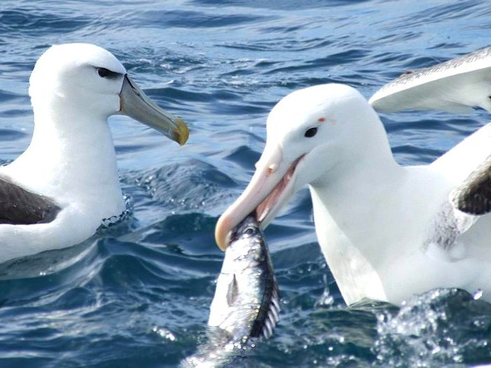 Альбатрос с рыбой