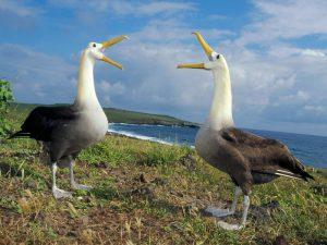 Общение альбатросов