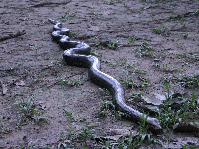 Амазонская анаконда