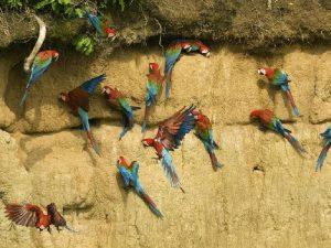 Амазонские ары