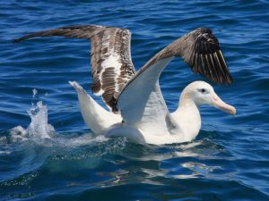 Амстердамский альбатрос