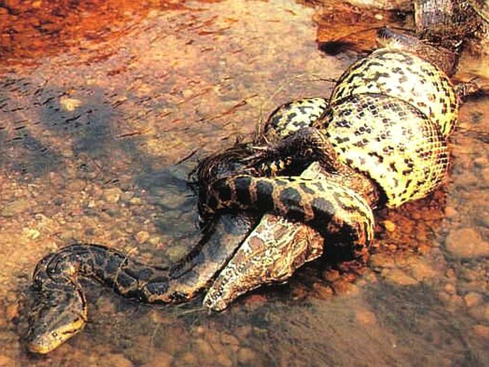 Крокодил и анаконда