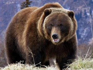 Гризли медведь. Описание и образ жизни гризли
