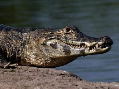 Крокодиловый кайман: фото, видо