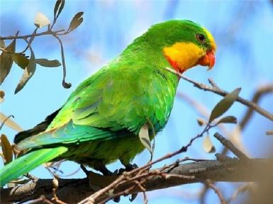 Австралийский попугай: фото, видео