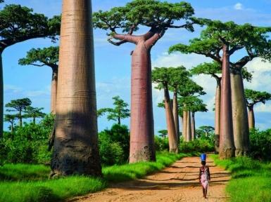 Баобаб дерево. Описание, виды баобабов