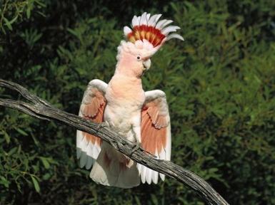 Попугай какаду. Где и сколько живет, виды какаду.