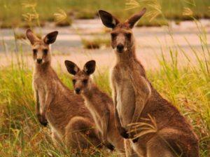 Кенгуру — животное. Все виды кенгуру и их образ жизни