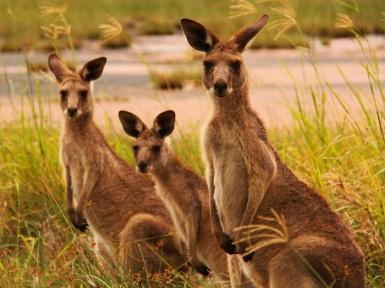 Кенгуру - описание. Все виды кенгуру и их образ жизни.