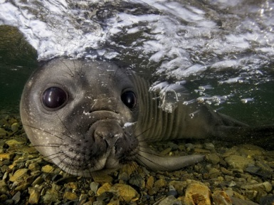 Морской леопард. Описание и образ жизни морского леопарда