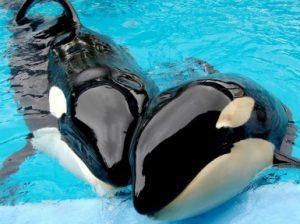 Касатка или косатка? Это кит или дельфин?