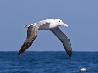Альбатрос - самая большая птица в мире