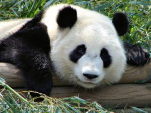 Панда большая и малая. Описание панды.