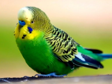 Волнистый попугай - классификация, содержание. Описание волнистых попугайчиков