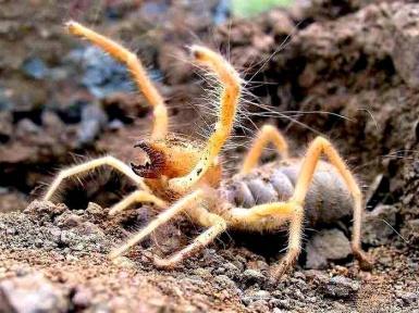 Фаланга - паук не хороший. Описание и повадки фаланги