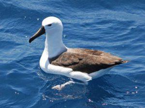 Птицы альбатросы. Виды Альбатросов.