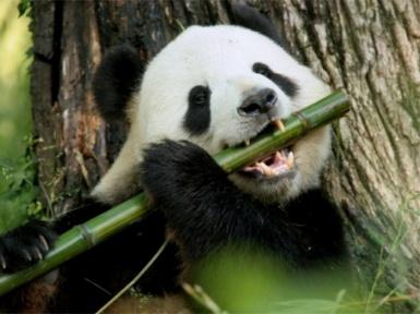 Что ест панда? Чем питается панда?