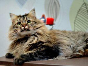 Стерилизация кошки: плюсы и минусы. Сколько стоит стерилизация кошки?