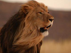 Африканский лев: царь зверей, дикое животное, описание