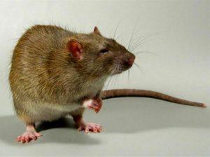 Крыса животное. Описание и образ жизни серой крысы