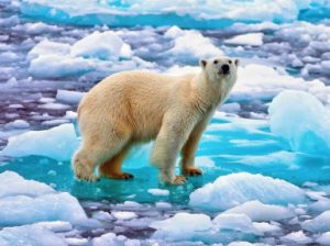 Белый медведь: где живет, обитает, что ест, сколько весит, видео