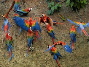 Ары в Южной Америке