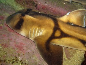 Австралийская бычья акула