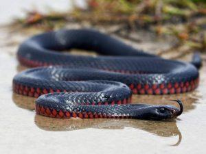 Австралийская Чёрная змея
