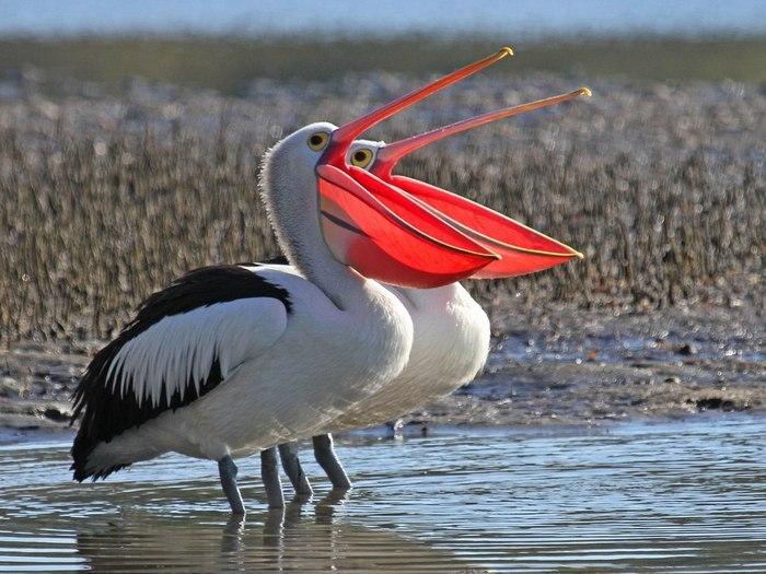 картинки с названиями птиц австралии сказать, что