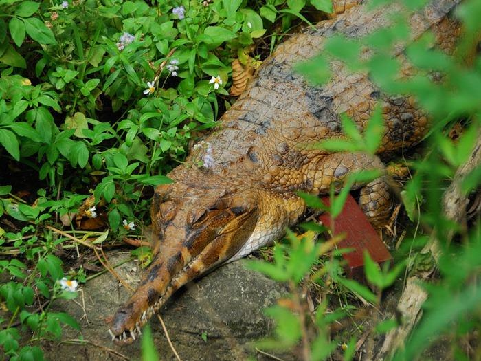 Австралийский узкорылый крокодил