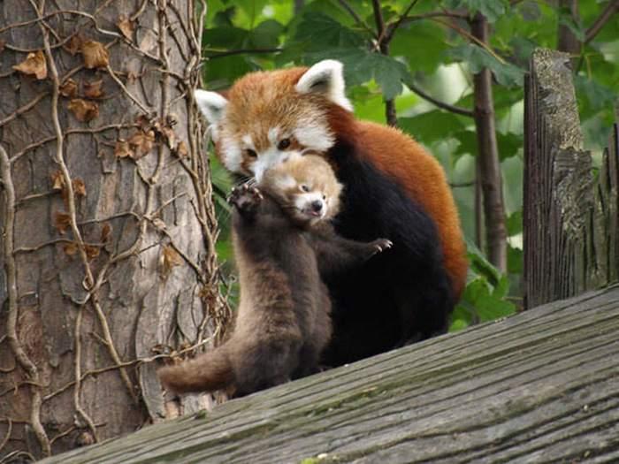 Заботливая мама панда