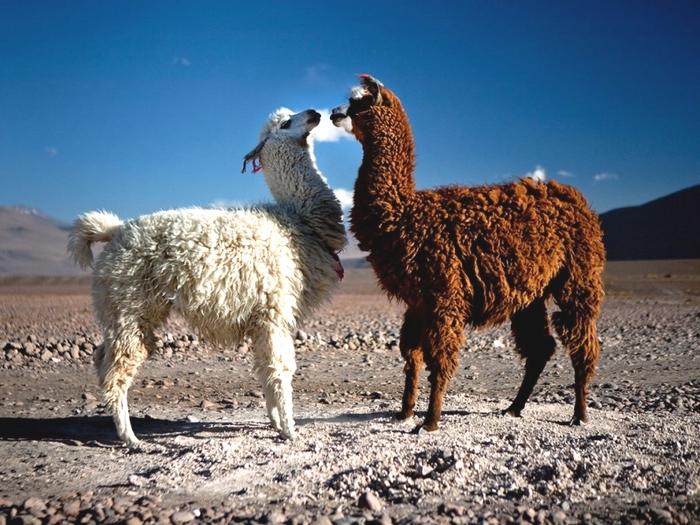 Ламы в Боливии