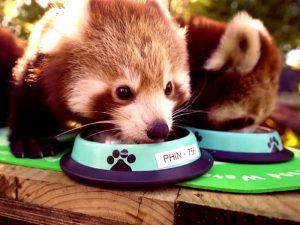 Красная панда ест кашу